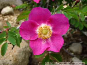 Jul23_085_AboveTenguhara_Rosa_spRC