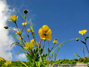 Jul23_093SIP_AboveTenguhara_Ranunculus_acris_ssp_novusRC