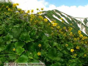 Jul23_250_AboveHakubaPond_Ranunculus_acris_ssp_novusRC