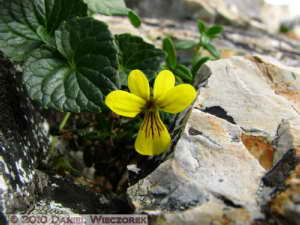 Jul23_322_MtKorenge_Viola_crassaRC