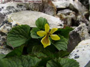 Jul23_327_MtKorenge_Viola_crassaRC