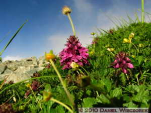 Jul23_414_NearMtShiroumadake_Pedicularis_verticillataRC