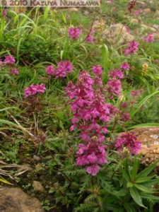 July10th120MtShibutsu_PedicularisVerticillataRC