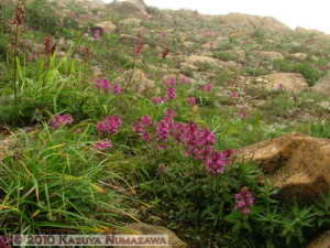 July10th122MtShibutsu_PedicularisVerticillataRC