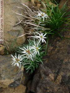 July10th177MtShibutsu_LeontopodiumFaurieiVarAngustifoliumRC