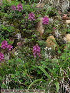 July10th187MtShibutsu_PedicularisVerticillataRC