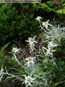 July10th254MtShibutsu_LeontopodiumFaurieiVarAngustifoliumRC