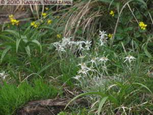 July10th260MtShibutsu_LeontopodiumFaurieiVarAngustifoliumRC