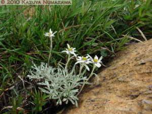 July10th263MtShibutsu_LeontopodiumFaurieiVarAngustifoliumRC
