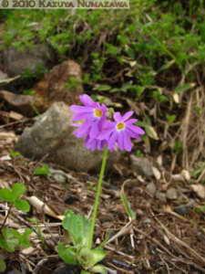July10th376MtShibutsu_PrimulaCuneifoliaVarHakusanensisRC