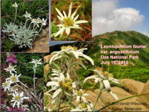 Mt. Shibutsu, Oze National Park - Leontopodium fauriei var. angustifolium (Edelweiss #2)