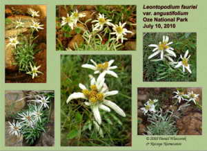 Mt. Shibutsu, Oze National Park - Leontopodium fauriei var. angustifolium (Edelweiss #1)