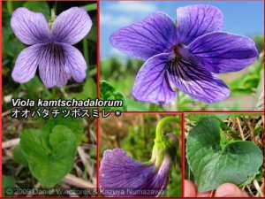 Viola_kamtschadalorumRC