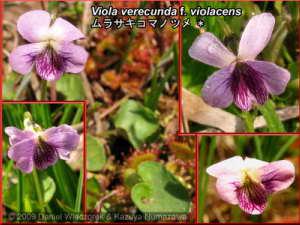 Viola_verecunda_f_violacensRC