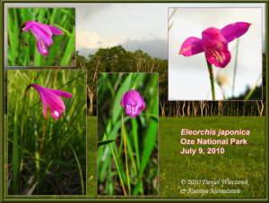 EleorchisJaponica1RC