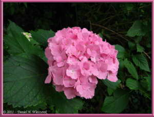 July03_63_TamaRiver_HydrangeaRC