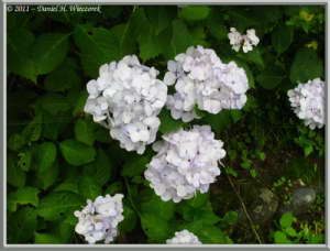 July03_69_TamaRiver_HydrangeaRC