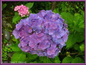 July03_71_TamaRiver_HydrangeaRC