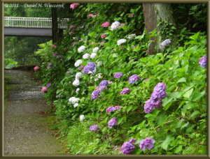 July03_72_TamaRiver_HydrangeaRC