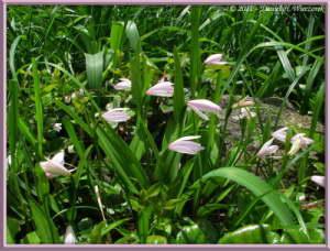 July08_149_SumondakeClimb_Pogonia_japonicaRC