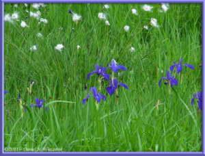 July15_043_OzeNP_Cottongrass_IrisRC
