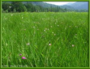 July15_072_OzeNP_Pogonia_japonicaRC