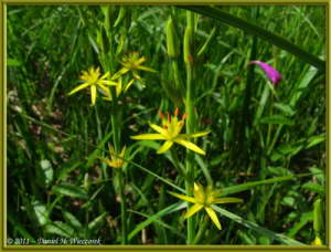 July15_091_OzeNP_Eleorchis_japonica_YellowFlowerRC