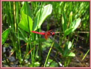July15_122_OzeNP_RedDragonflyRC