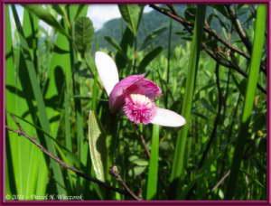 July15_148_OzeNP_Pogonia_japonicaRC