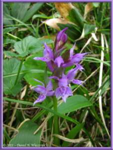 July16_195_OzeNP_Dactylorhiza_aristataRC