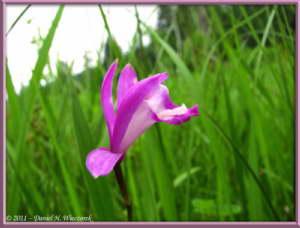 July16_276_OzeNP_Eleorchis_japonicaRC
