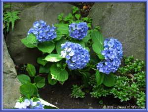 July1_17_Takahatafudo_HydrangeaMatsuriRC