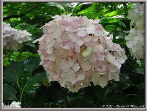 July1_29_Takahatafudo_HydrangeaMatsuriRC