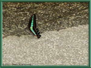 July1_50_Takahatafudo_HydrangeaMatsuri_ButterflyRC
