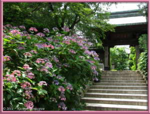 July1st_TakahataFudou007_HydrangeaRC
