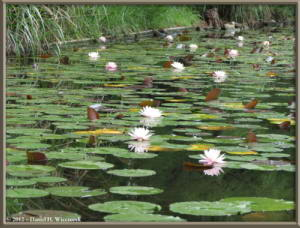 Jul08_04_JindaiBG_Pond_WaterLilyRC