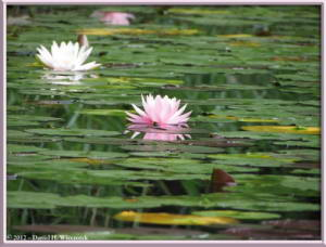 Jul08_06_JindaiBG_Pond_WaterLilyRC