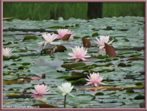 Jul08_13_JindaiBG_Pond_WaterLilyRC
