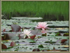 Jul08_15Rot_JindaiBG_Pond_WaterLilyRC