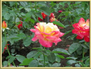 Jul08_45_JindaiBG_RoseGardenRC