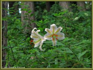 Jul29_09_MtMitake_Lilium_auratumRC