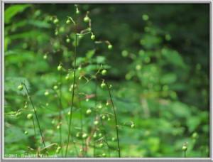 Jul29_19_MtMitake_Rengeshouma_Anemonopsis_macrophyllaRC
