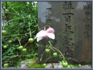 Jul29_76_MtMitake_Rengeshouma_Anemonopsis_macrophyllaRC