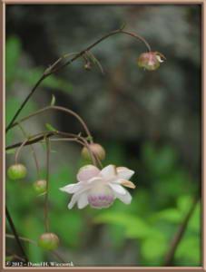 Jul29_90_MtMitake_Rengeshouma_Anemonopsis_macrophyllaRC