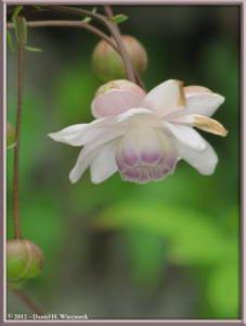 Jul29_91_MtMitake_Rengeshouma_Anemonopsis_macrophyllaRC