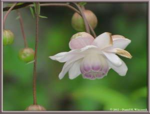 Jul29_93_MtMitake_Rengeshouma_Anemonopsis_macrophyllaRC