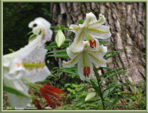 July29th_058_MtMitake_Lilium_auratumRC
