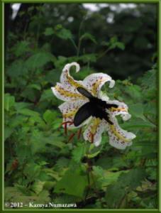 July29th_103_MtMitake_Lilium_auratum_ButterflyRC