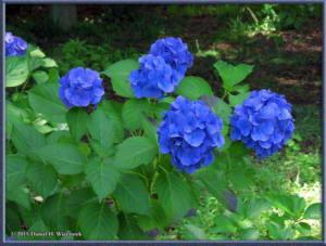 Jun28_33_JindaiBotGar_HydrangeaRC