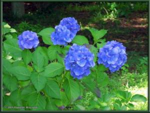 Jun28_34_JindaiBotGar_HydrangeaRC
